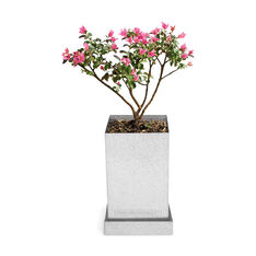 Crepe Myrtle Bonsai Plant Growing Kit in color